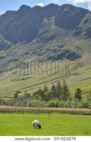 Sheep and lamb beneath Haystacks, English Lake District