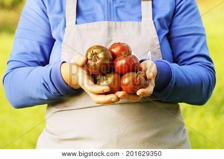 Fresh hybride delizia tomato . Colorful organic tomatoes in farmers hands .