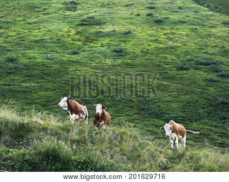 Several cows grazing on mountain pasture. Alpine traditional farming. Scenic Alpine rocky alpine valley of Sportgastein in summer. Picturesque mountain pasturelands, great massif and sunny weather.