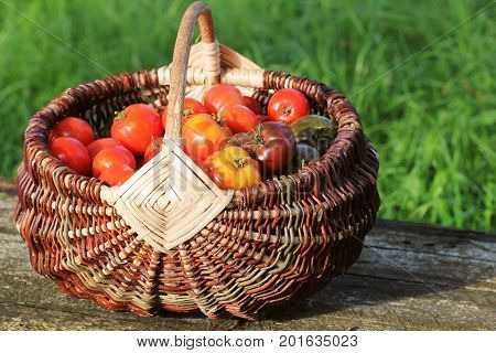 Heirloom variety tomatoes in baskets on rustic table. Colorful tomato - red, yellow , orange. Harvest vegetable cooking conception. Full basket of tometoes in green background .