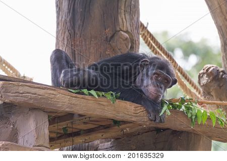 Small chimpanzee monkey relax on the tree.