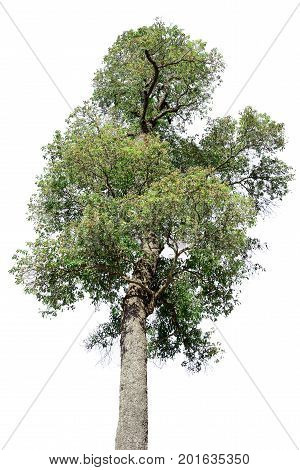 Top part of tall tree isolated on white background.