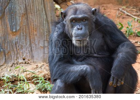 Portrait is giant chimpanzee monkey sitting in the jungle.
