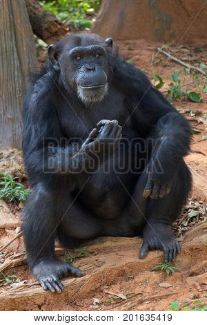 Giant chimpanzee monkey sitting in the forest.