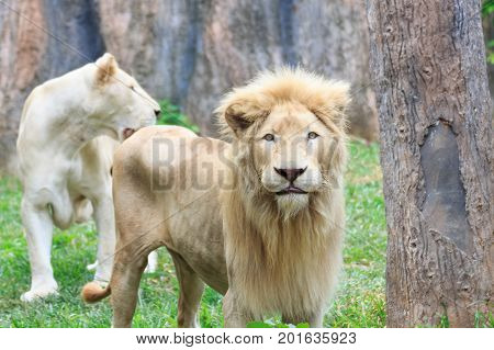 Young lions is skinny in the nature.