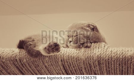 A Scottish Fold Cat sleeping on pad