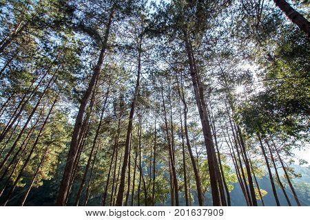Pine tree with sunlight sunbeams or sunrays.
