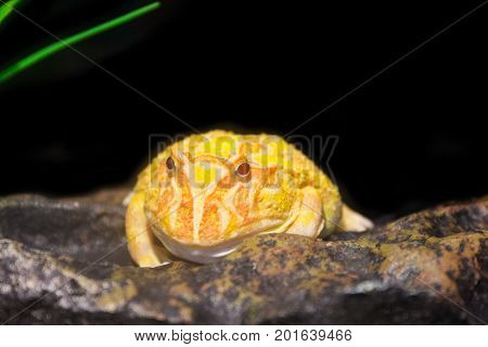 A big yellow horned frog on stone.