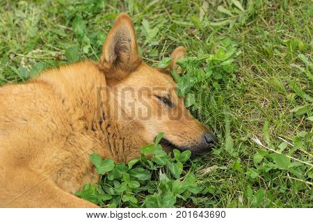 Portrait of mixed breed red haired dog having rest in the spring grass