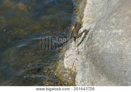 Dice snake trying to take fish out from the water to stone on Dnipro river in Ukraine
