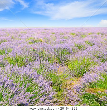 blooming lavender in a field on background of blue sky