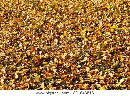 Autumn, Fall Yellow Leaves