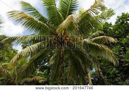 Palm tree in the lush rain forest in the Portland Parish on the East Coast of Jamaica on 30 December 2013.