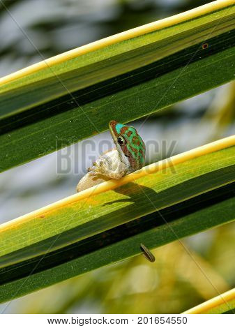 Ornate day gecko doing contortion in natural habitat