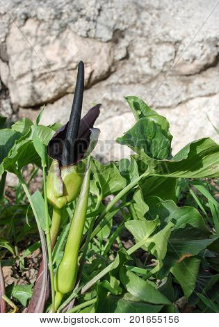 Wild Black Callas Or Wild Arum, Solomon's Lily Flowers