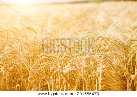 Photo of yellow wheat field in summer afternoon