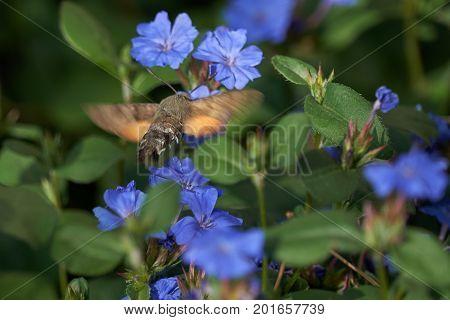 Sphinx Colibri Macroglossum Stellarum In The Garden