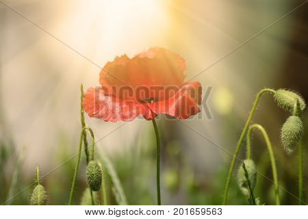 Red poppy flowers blooming in the green grass field, floral natural spring background, can be used as image for remembrance and reconciliation day