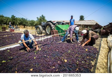 Pick And Dry Raisins In Greece