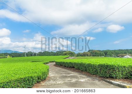 Fresh green tea farm in spring Row of tea plantations (Japanese green tea plantation) with blue sky background in Fuji city Shizuoka prefecture Japan.