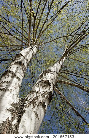 Crohn's birch with branches and leaves in the spring.