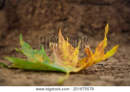Maple leaf on the ground at autumn