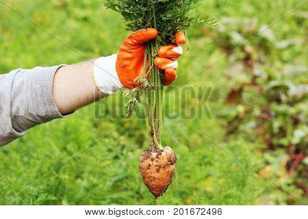 Farmer hand holding a f fresh organic carrot in autumn garden outdoor .