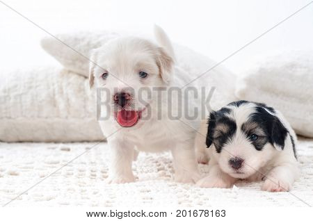 The two cute beautiful bichon havanese puppies