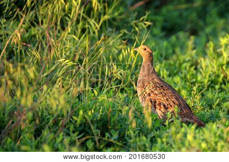 Closeup grey partridge or Perdix in grass in meadow