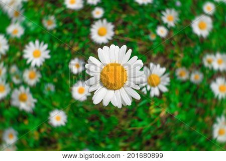 large flower of wild chamomile close-up against a background of a green field with a blurry background