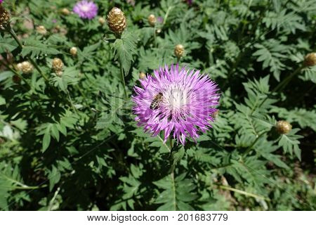 Honey Bee Pollinating Flower Of Centaurea Dealbata