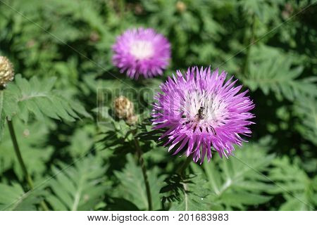 Insect Sitting On Flower Of Centaurea Dealbata