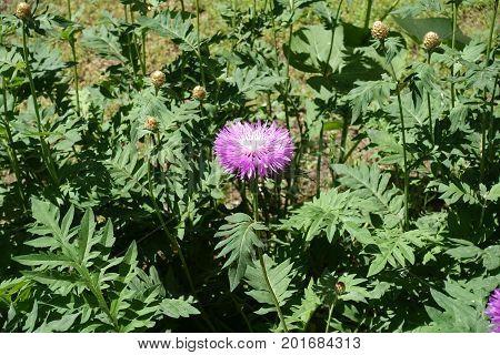 One Light Pink Flower Of Centaurea Dealbata