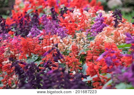 purple pink and orange salvia flowers nature abstract blossom