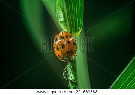 Ladybug on green grass macro close up with defocused background