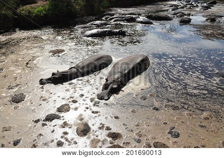 A few hippos, floating in their own excrements.