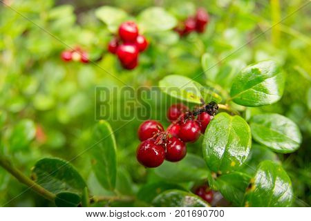 Ripe Red Cowberry Grows In Pine Forest