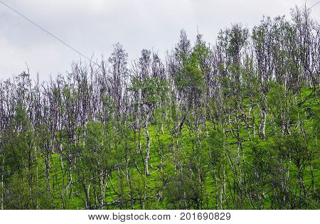 Birch trees with summer shine in Northen Norway