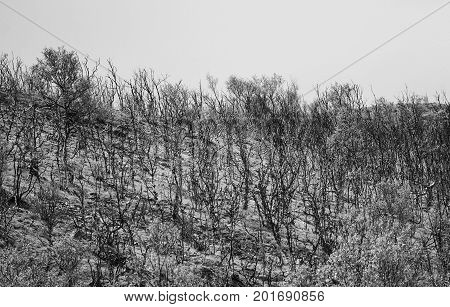 Birch tree background black and white in Norway