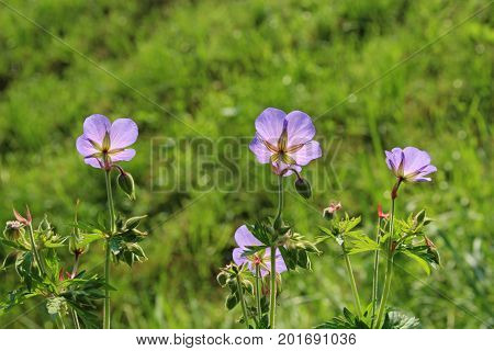 purple chicory blossoms back lit green background greeting card