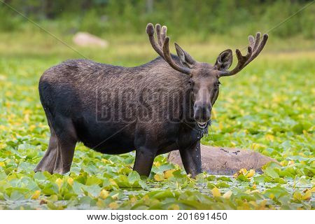 Bull Moose in Lily Lake - Wild Shiras Moose in the Rocky Mountains of Colorado