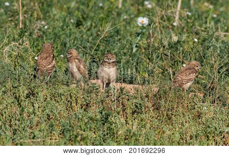 Burrowing Owl Fledglings  Hanging Out at Their Burrow