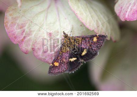 Mint Moth (Pyrausta aurata) on a pink Hydrangea