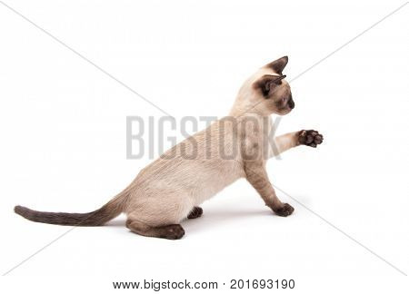 Side view of a cute Siamese kitten sitting with his paw up, about to reach for something, on white background