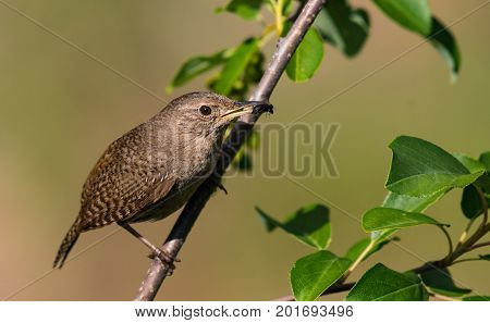 A House Wren Catches a Meal in the Morning