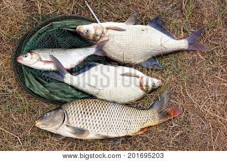 Freshwater fish just taken from the water. Carp and bream, ide