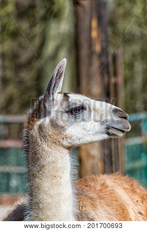 A White Gray Llama in profile in the zoo