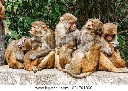Macacus Monkeys Living In The Swayambu Nath Temple, Kathmandu, Nepal