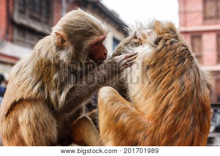 Monkeys Living In The Swayambunath Temple, Kathmandu, Nepal