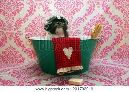 Dog Bath. A happy Shih Tzu dog ready to take a bath in the tub. He is wearing a shower cap and has a scrub brush and bar of soap ready to use.